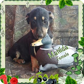 Shepherd (Unknown Type) Mix Puppy for adoption in Manchester, Connecticut - Matilda Adoption pending