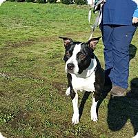 Adopt A Pet :: Yoshi - Tumwater, WA
