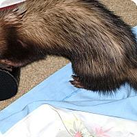 Ferret for adoption in Acworth, Georgia - Ginger