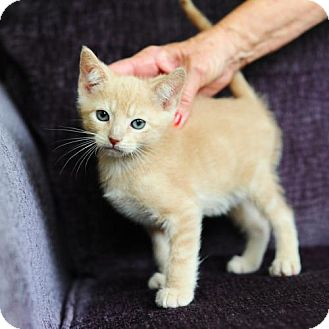 Domestic Shorthair Cat for adoption in Ft. Lauderdale, Florida - Biff
