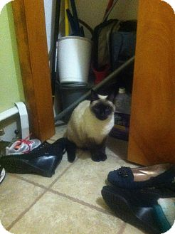 Siamese Cat for adoption in Clay, New York - Franklin