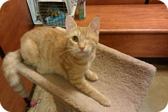 Domestic Shorthair Cat for adoption in Cranford/Rartian, New Jersey - Rubey