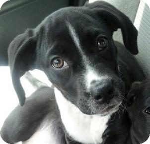Labrador Retriever Mix Puppy for adoption in Gainesville, Florida - Dawson