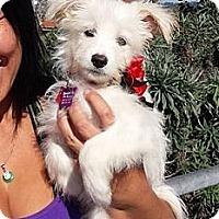 Adopt A Pet :: Ollie - Encinitas, CA