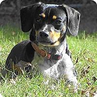 Adopt A Pet :: PIPPA - Essex Junction, VT