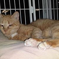 Adopt A Pet :: Tommy - Iroquois, IL