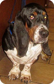 Basset Hound Dog for adoption in Barrington, Illinois - Big Jake