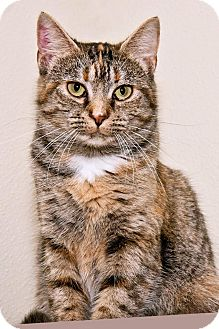 Domestic Shorthair Cat for adoption in Cashiers, North Carolina - Elaine