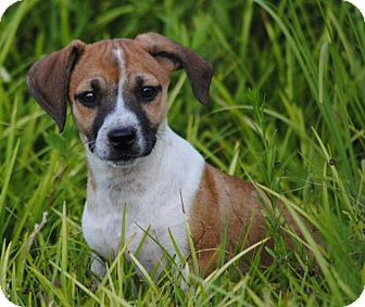 Beagle/Jack Russell Terrier Mix Puppy for adoption in Cedartown, Georgia - Freckles