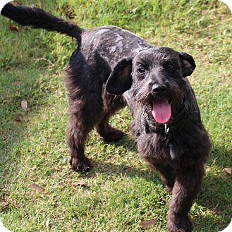 Schnauzer (Standard)/Poodle (Standard) Mix Dog for adoption in Snyder, Texas - Coal
