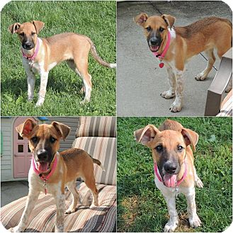 Australian Cattle Dog Mix Puppy for adoption in Middleton, Wisconsin - Mandy