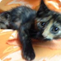 Adopt A Pet :: Owl - Dallas, TX