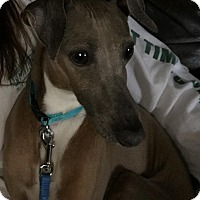 Adopt A Pet :: Romeo - Fairview Heights, IL
