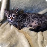 Adopt A Pet :: Adele - Sarasota, FL