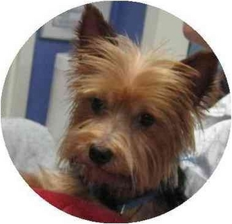 Yorkie, Yorkshire Terrier Dog for adoption in Conroe, Texas - Leo