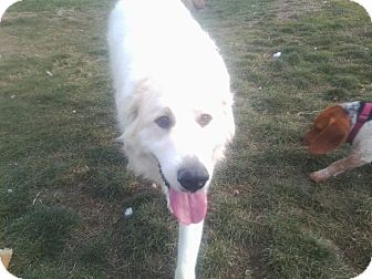 Great Pyrenees Dog for adoption in Carey, Ohio - LUNA
