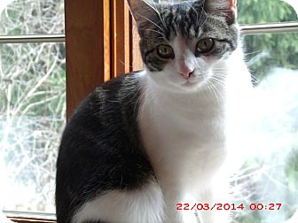 Domestic Shorthair Cat for adoption in Acme, Pennsylvania - May