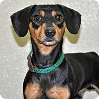 Adopt A Pet :: Peppy - Port Washington, NY