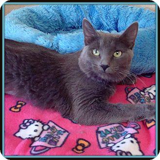 Domestic Mediumhair Cat for adoption in Glendale, Arizona - Calista