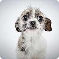 Adopt A Pet :: Arabella - New York, NY