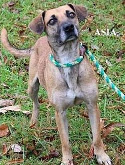 Shepherd (Unknown Type) Mix Dog for adoption in Cookeville, Tennessee - Asia