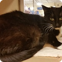 Domestic Shorthair Cat for adoption in North Haven, Connecticut - Zarah