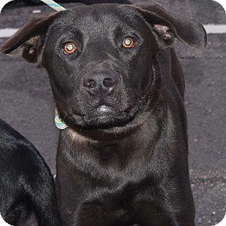 Labrador Retriever Mix Dog for adoption in Minneapolis, Minnesota - Jack