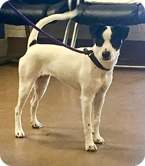 Jack Russell Terrier Mix Dog for adoption in Hendersonville, North Carolina - London