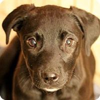 Adopt A Pet :: Ebony - Bloomington, IL