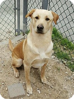 Labrador Retriever/Terrier (Unknown Type, Medium) Mix Dog for adoption in Houston, Texas - Hank