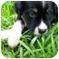 Photo 1 - Australian Shepherd Mix Puppy for adoption in Orlando, Florida - Danny