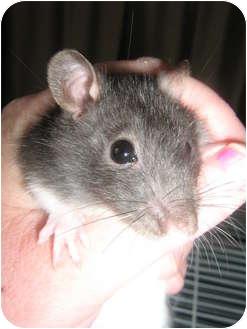 Rat for adoption in Cincinnati, Ohio - Tom