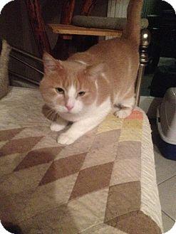Domestic Shorthair Cat for adoption in Auburn, California - Buddy
