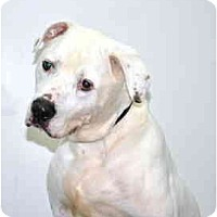 Adopt A Pet :: Goliath - Port Washington, NY