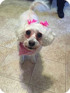 Poodle (Miniature) Dog for adoption in Portage, Indiana - Bonnie