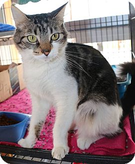 Domestic Shorthair Cat for adoption in New Orleans, Louisiana - Alice