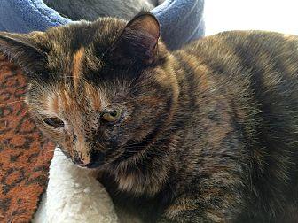 Domestic Shorthair Cat for adoption in Prescott, Arizona - Tortellini