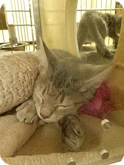 Domestic Shorthair Kitten for adoption in Northfield, Ohio - Rachel
