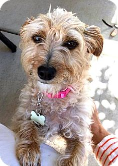 Terrier (Unknown Type, Small) Mix Dog for adoption in Tijeras, New Mexico - Rose