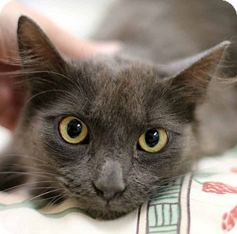 Domestic Mediumhair Cat for adoption in New Prague, Minnesota - Zoltan