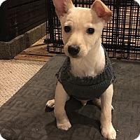 Adopt A Pet :: Tom - Tumwater, WA