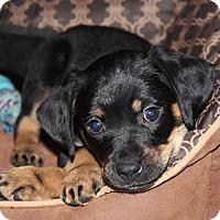 Adopt A Pet :: *Lili - PENDING - Westport, CT