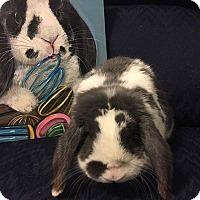 Adopt A Pet :: Panda - Hillside, NJ