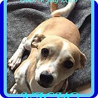 Adopt A Pet :: NACHO - Albany, NY