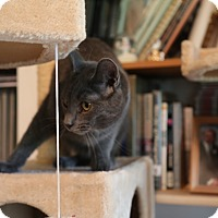 Russian Blue Cat for adoption in Hagerstown, Maryland - Fredrick