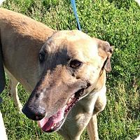Adopt A Pet :: Sausage - Gainesville, FL