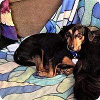 Adopt A Pet :: Bo #6 in MI - Columbia, TN
