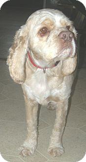 Cocker Spaniel Dog for adoption in Kannapolis, North Carolina - Hunter/Alfie  VA/Adopted!