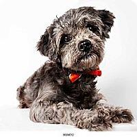 Adopt A Pet :: Horatio - New York, NY