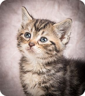Domestic Shorthair Kitten for adoption in Anna, Illinois - DANA